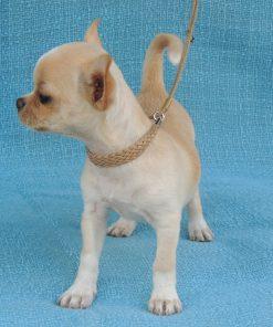Chihuahua Puppy 3