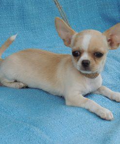 Chihuahua Puppy 4