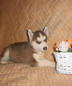 Husky Puppy 3