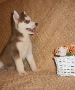 Husky Puppy 4