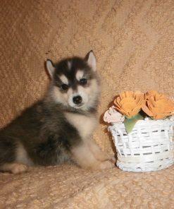 Siberian Husky Neeo 2
