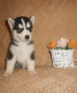 Siberian Husky Neeo