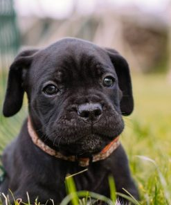 Cane Corso Puppy 1