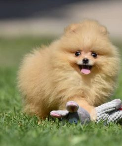 pomeranian puppy mia
