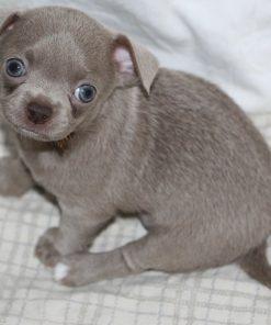 chihuahua puppy timmy