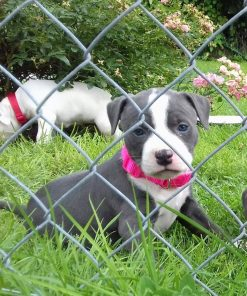 american stafforshire terrier puppy rocky