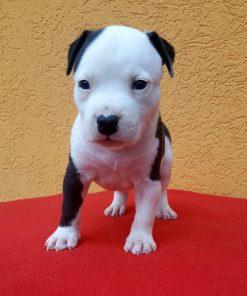 American Staffordshire Terrier Mack
