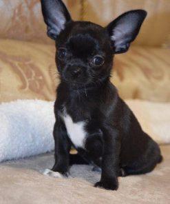 Chihuahua Barry
