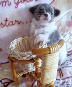 Chihuahua Cloe 3