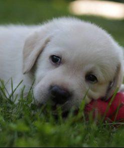 Labrador Daisy 1
