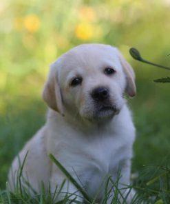 Labrador Daisy
