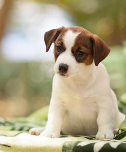 Jack Russel Terrier Emily