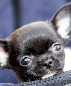 Chihuahua Poo 2