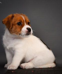 Jack Russel Terrier Tippy 2