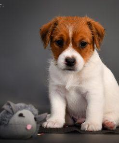 Jack Russel Terrier Tippy 3