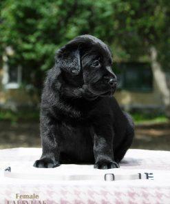 Labrador Rosie 1