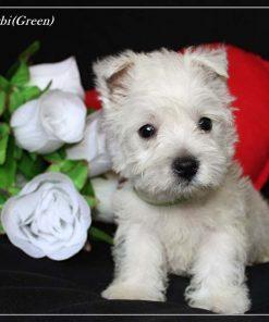 West Highland White Terrier 1
