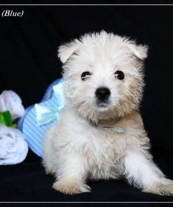 West Highland White Terrier Kai