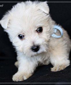 West Highland White Terrier Kai 1