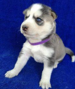 Freya Siberian Husky 2