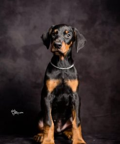 Doberman Pinscher Hunter 1