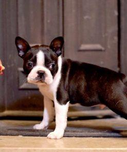 Boston Terrier Sofronije 2