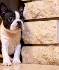 Boston Terrier Sofronije 3