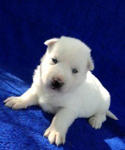 Siberian Husky Sadie