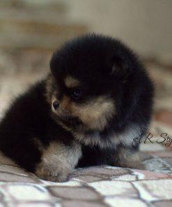 Pomeranian Leia