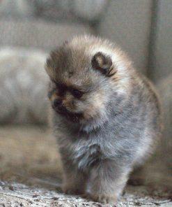 Pomeranian Benny 2