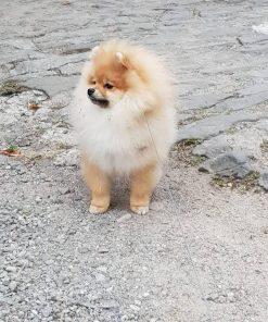 Pomeranian Chewy