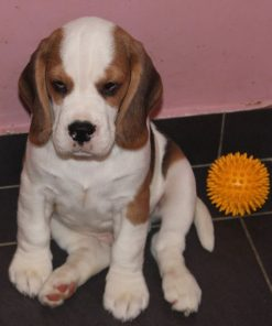Willy Beagle
