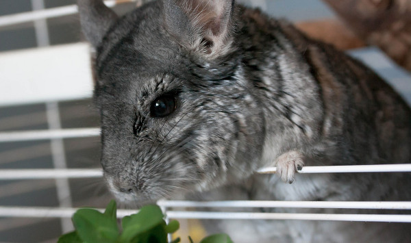 Chinchilla-Food-Chinch-and-Clover-photo-by-jennofarc