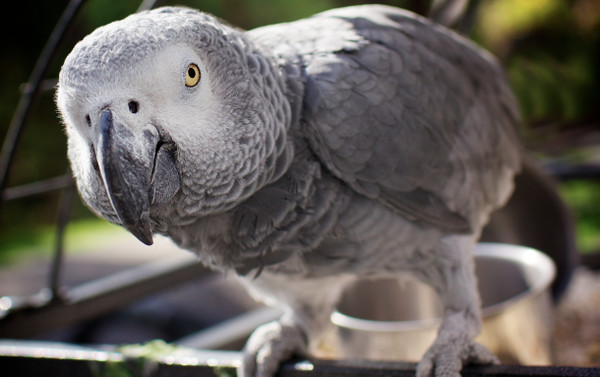 African_Gray_Parrot