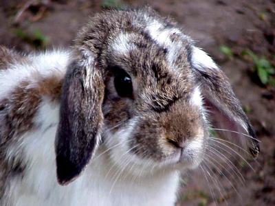 Rabbit Doente