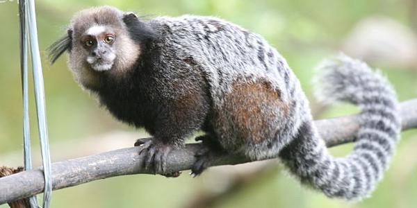Sagui Callithrix kuhlii