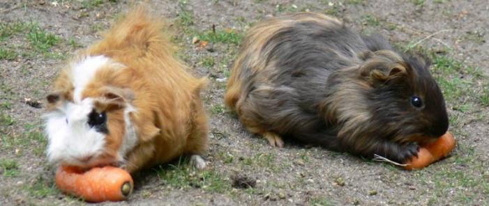 Dois Porquinhos da Índia