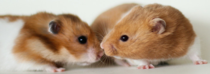 Two Hamsters Sirios