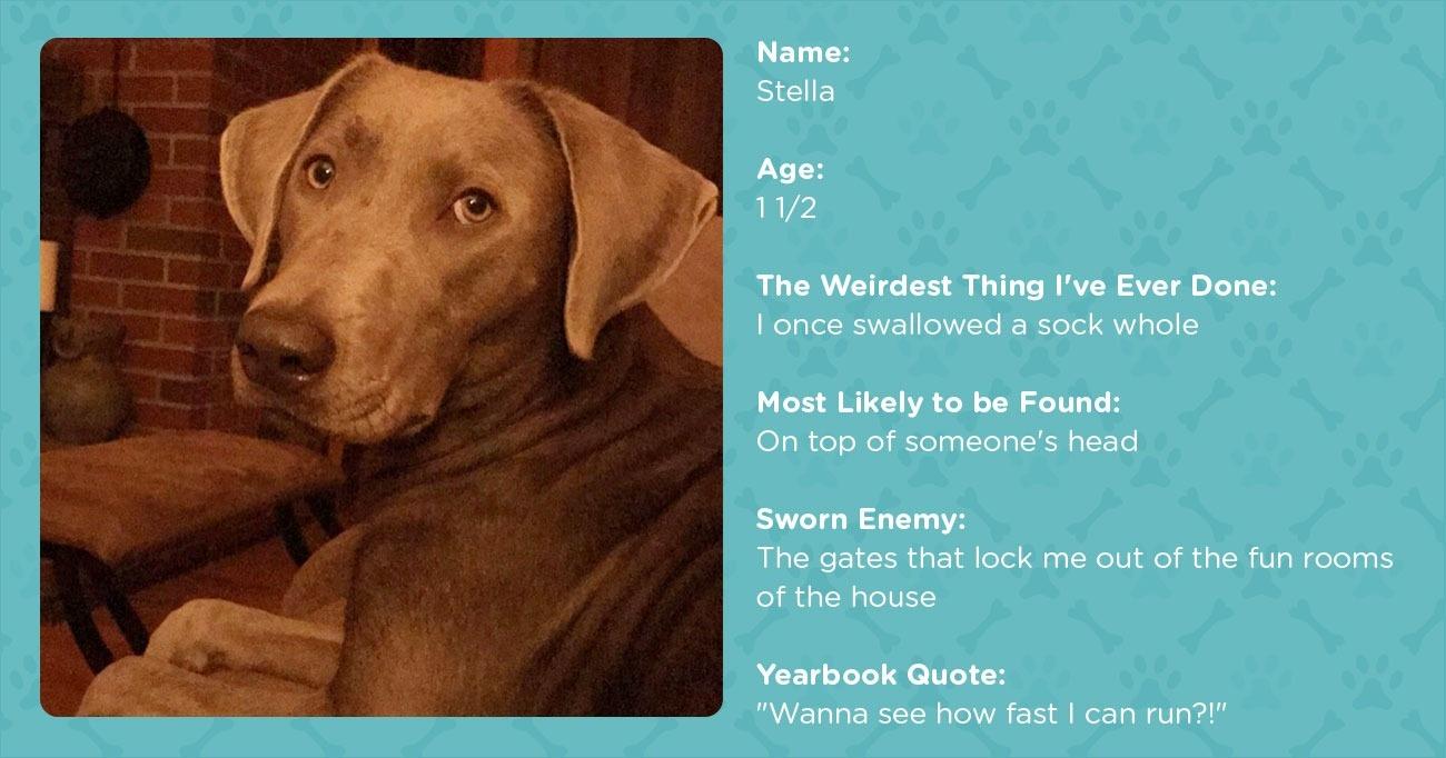 Pet Stats: Meet Adorable Stella the Silver Labrador