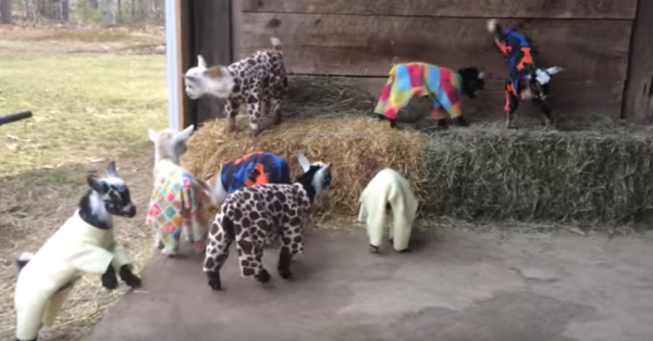 We Just Discovered This Video Of Baby Goats In Pajamas And