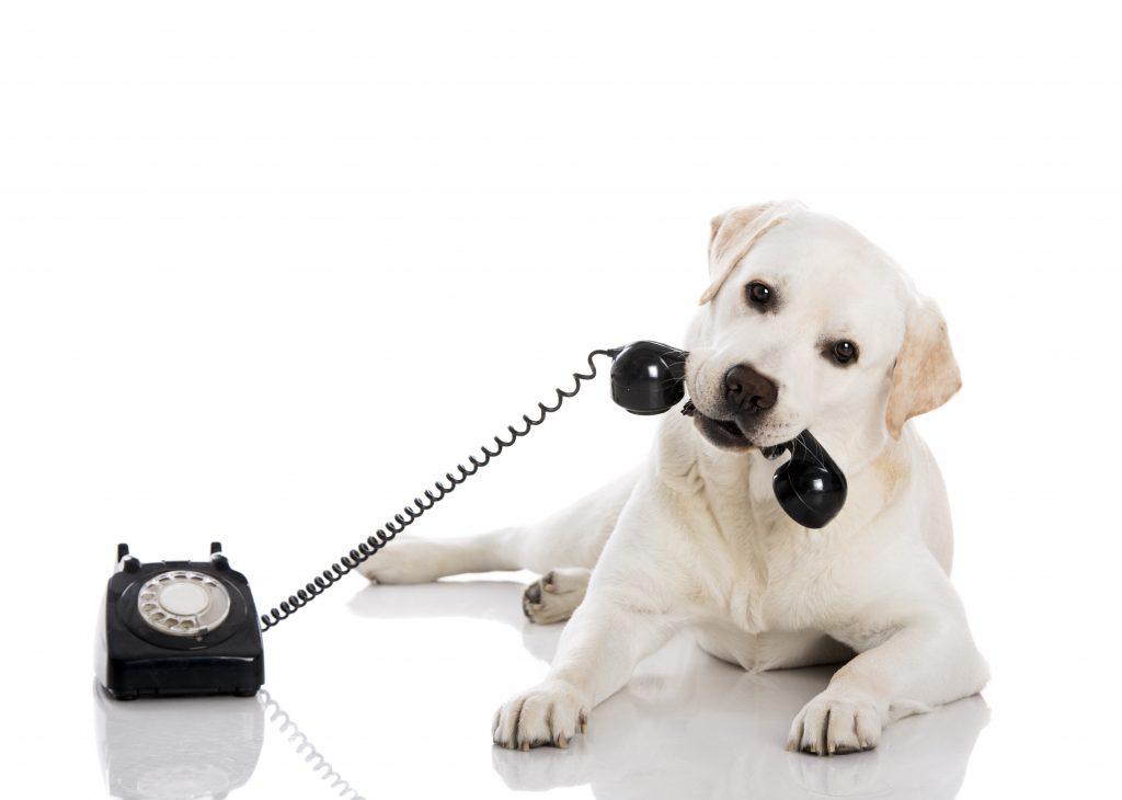 Portrait of a labrador retriever holding a telefone with mouth for iamfine.com