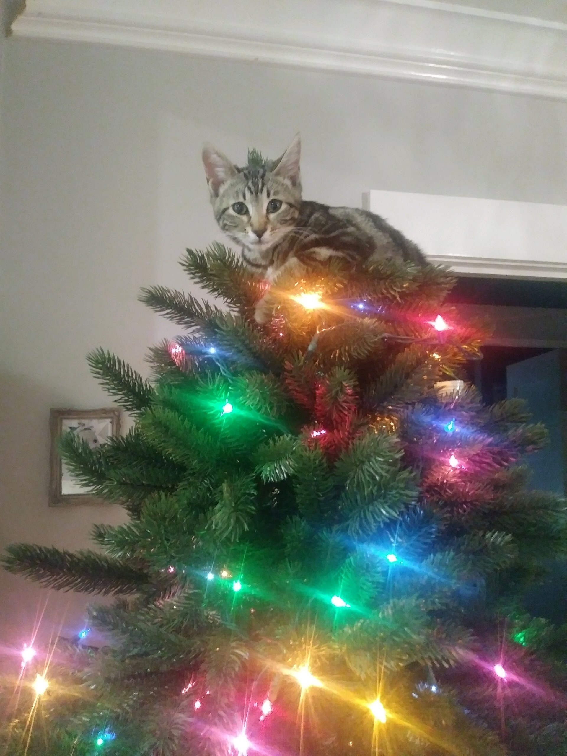 Christmas Tree Star Cat of California. Good luck getting them down :)