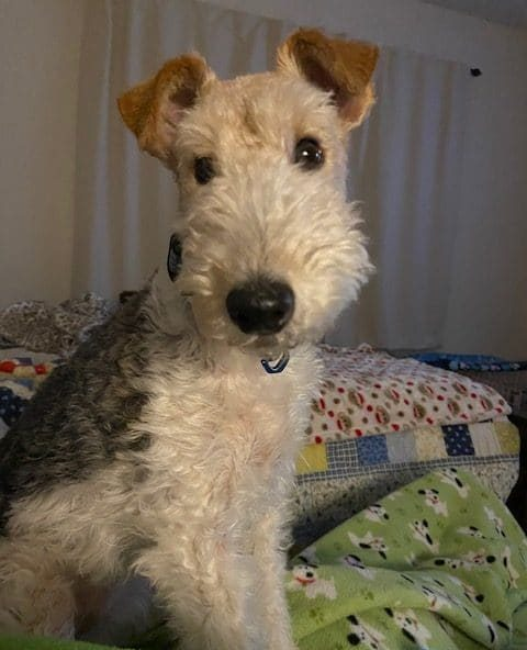 Sydney. A handsome 4 yr old Wire Fox Terrier - Florida, USA