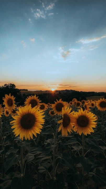 The Latest Iphone11 Iphone11 Pro Iphone 11 Pro Max Mobile Phone Hd Wallpapers Free Download Sunflowers Flowers Yellow Field Sunset Free Wallpaper