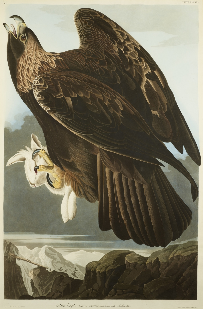 Golden Eagle with Northern Hare