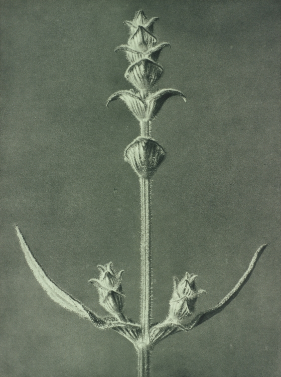 Salvia. Sage. Stem of a plant enlarged 5 times.  Plate 99 from Urformen der Kunst (Art Forms in Nature)