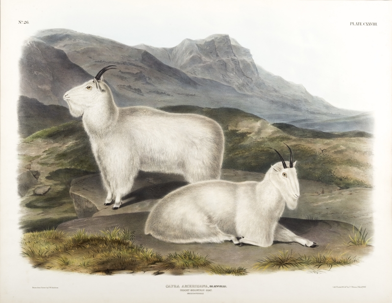 Capra Americana, Blainville -  Rocky Mountain Goat - Male and Female. Plate CXXVII - No. 26