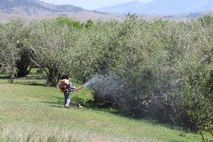 Бургасан ойн хортон шавжийг устгах ажил өрнөж байна