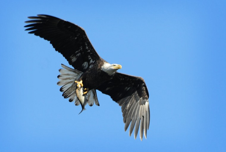 A bald eagle flies with a fish in its talons at the Conowingo Hydroelectric Dam. Kim Hairston/Baltimore Sun