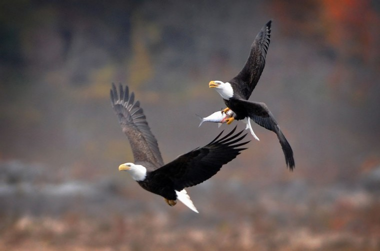 Two bald eagles, one clutching a fish, navigate gusty conditions at the Conowingo Hydroelectric Dam. Kim Hairston/Baltimore Sun